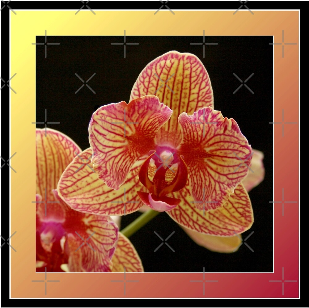 Phalaenopsis by Julie's Camera Creations <><