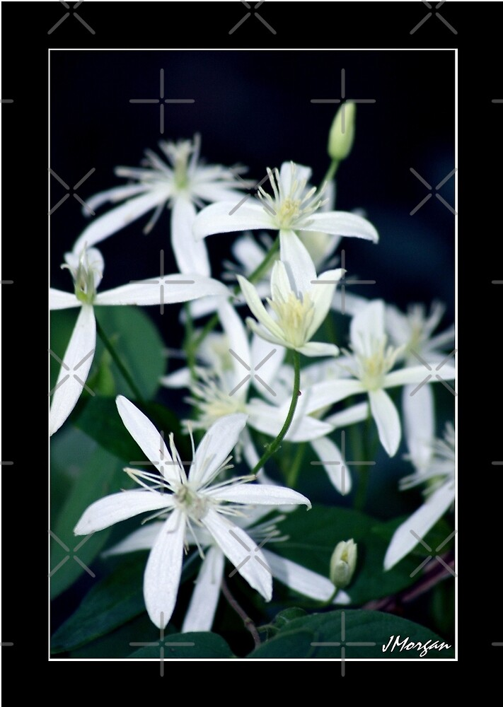 Armand Clematis by Julie's Camera Creations <><