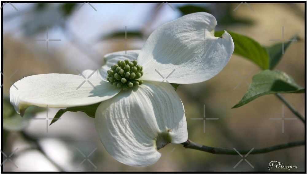 The Dogwood-Georgia's State Flower by Julie's Camera Creations <><
