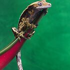 Crested gecko portrait on green by FrogtographerUK