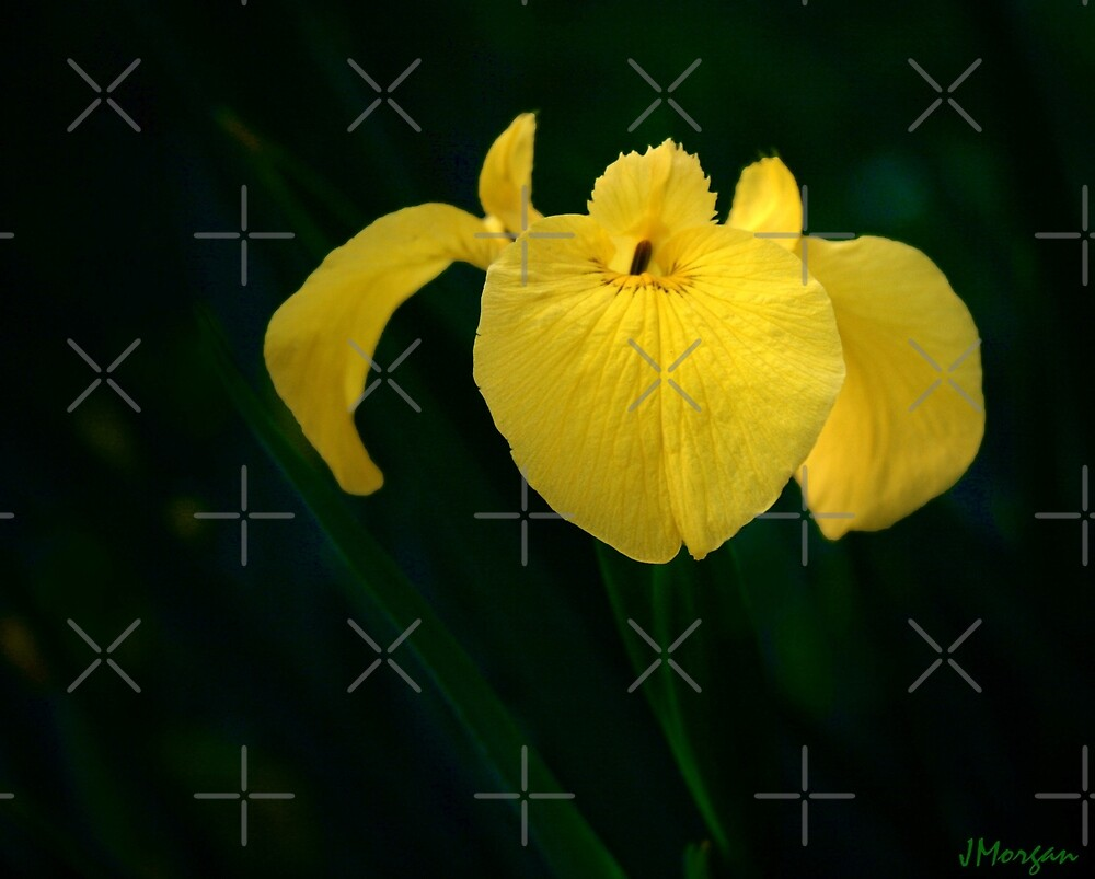 Yellow Iris by Julie's Camera Creations <><