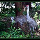SAND HILL CRANES by BOLLA67