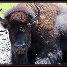 BISON by BOLLA67