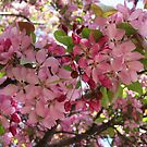 Apple Blossoms by Sandra Fortier