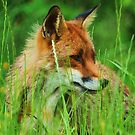 foxy lady by Alan Mattison
