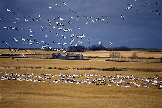 """""""  Fall  Migration  """" by fortner"""