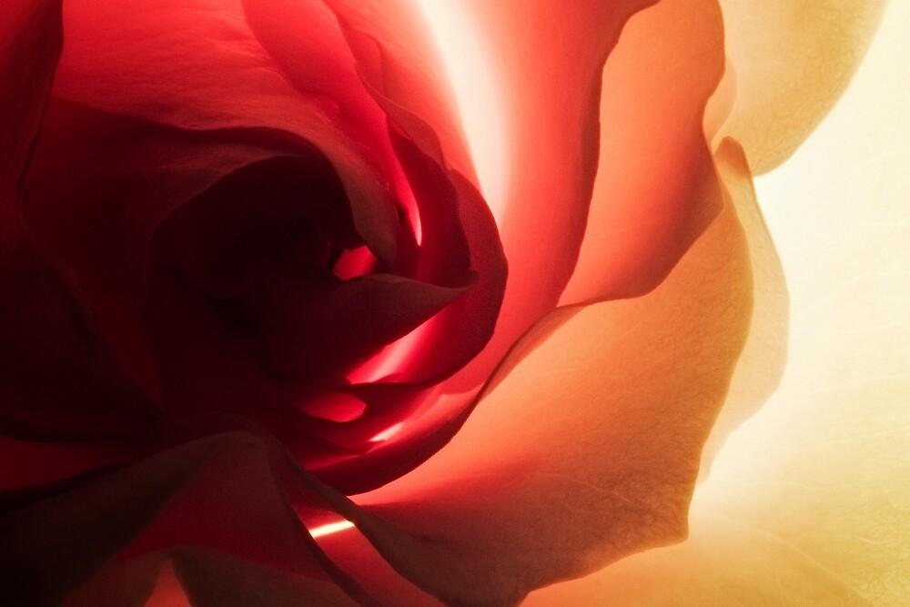 Yellow Rose by Jordan Duff