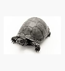 Box Turtle Photographic Print