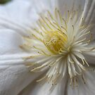White Clematis by seanseen