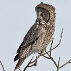 Great Gray by Todd Weeks