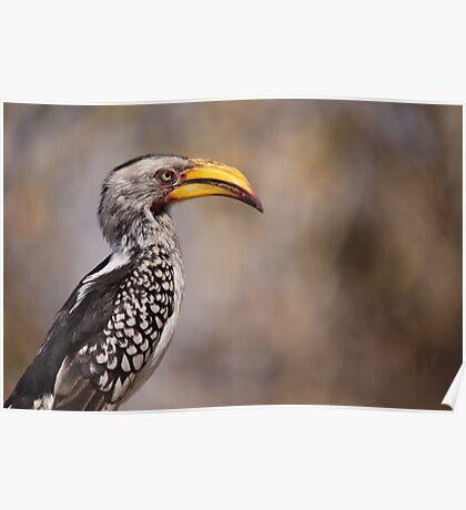Yellow Billed Hornbill Poster