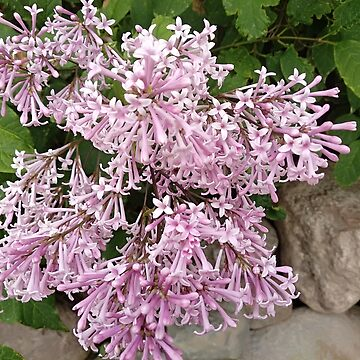 Branch with spring lilac flowers.  by designer437
