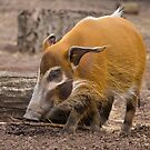 Red River Hog by Michael Hadfield