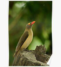 Bird - Oxpecker Poster