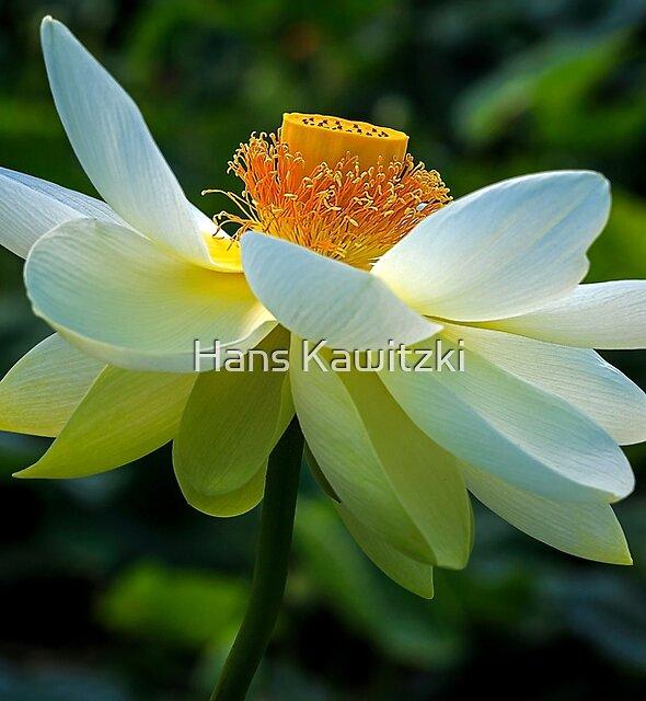 1861 White Lotus by Hans Kawitzki