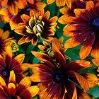 Rudbeckia - 'Autumn Colors' by T.J. Martin