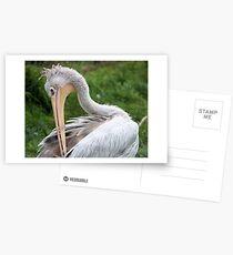 Preening Pelican Postcards