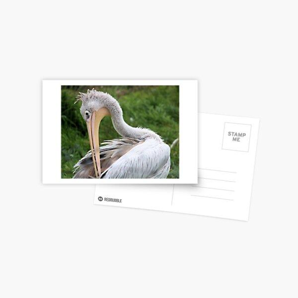 Preening Pelican Postcard