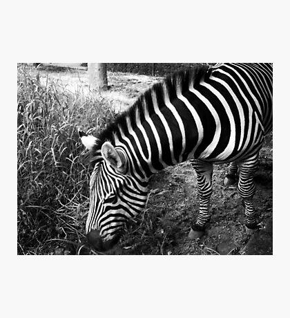 black and white zebra  Photographic Print