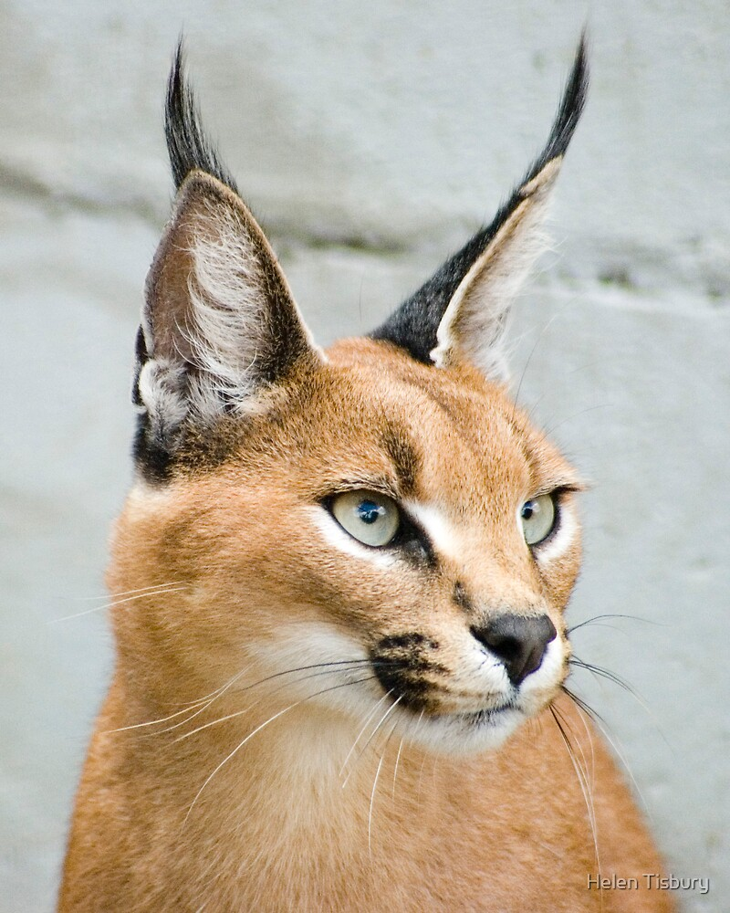 """""""Caracal Small Cat"""" By Helen Tisbury"""