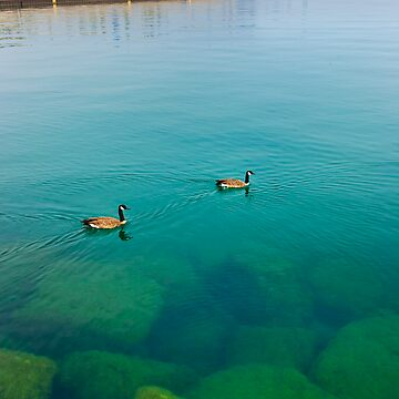 Chicago geese by LOUOATES