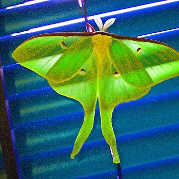"""Luna Moth"" by Dloneger"