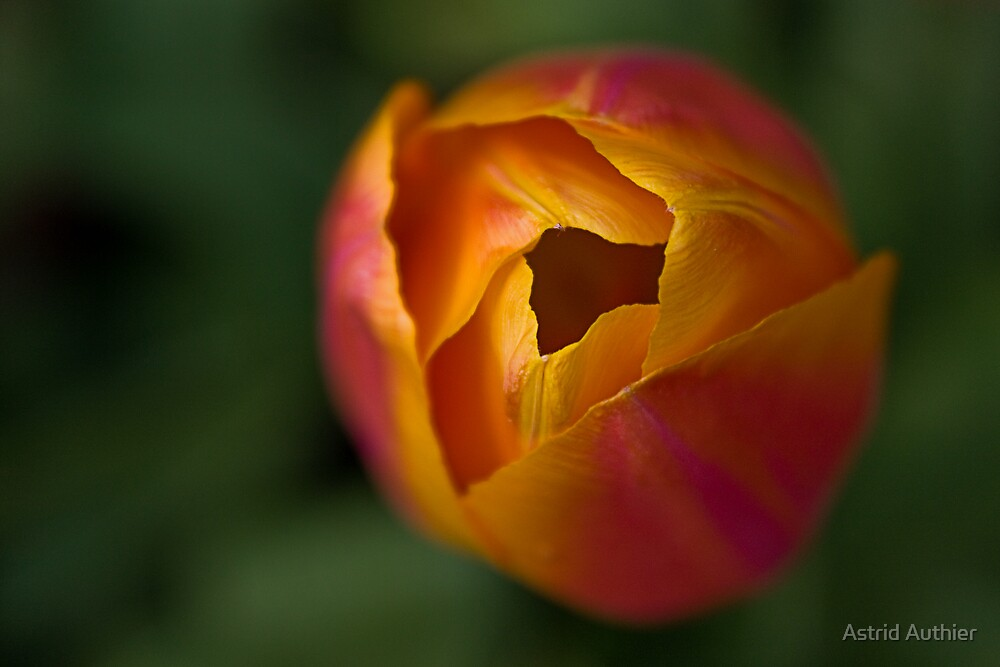 Tulip by Astrid Authier