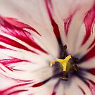 White and pink tulip - square crop by Astrid Authier