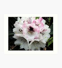 White and Pink Rhododendron Art Print