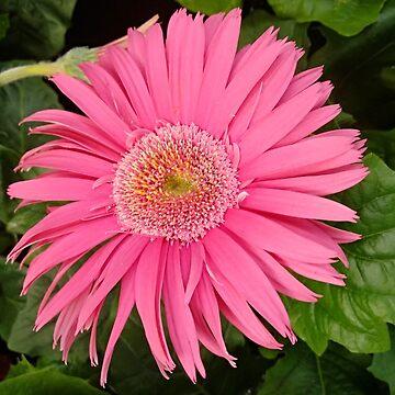 Pink gerbera flower by designer437
