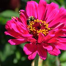 Zinnia With Bee by Anne Smyth