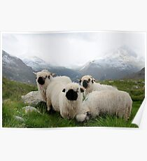 BLACK NOSE SHEEP Poster