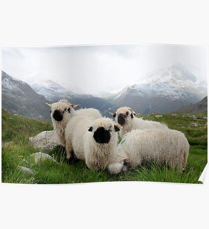 BLACK NOSE SHEEP Poster