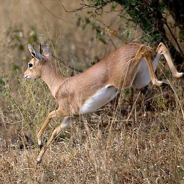 Steenbok On The Run by Mytmoss
