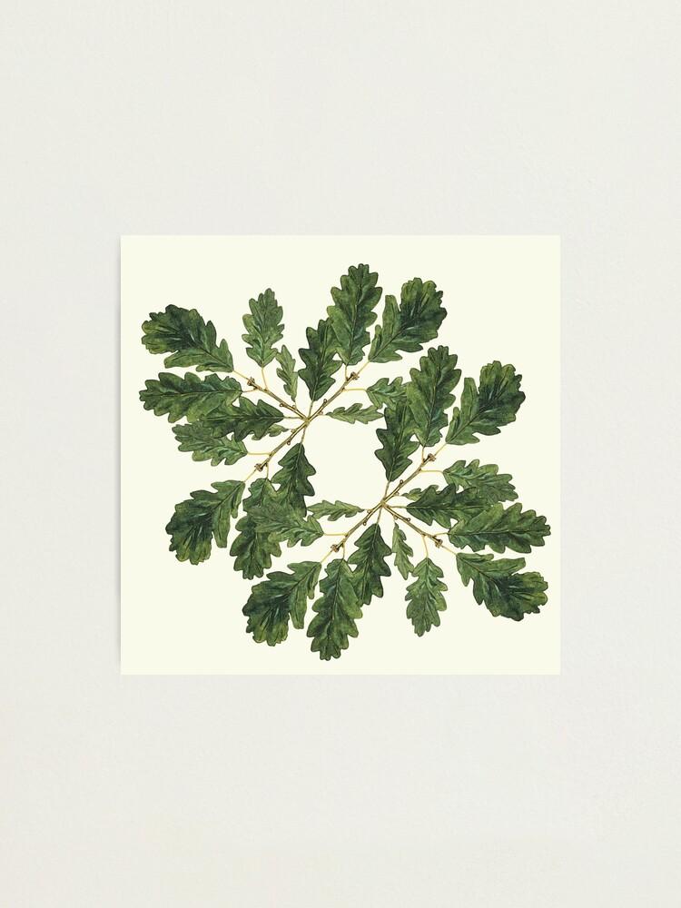 Alternate view of Oak leaf ensemble   Photographic Print