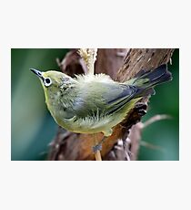 Japanese White-Eye Perched Photographic Print