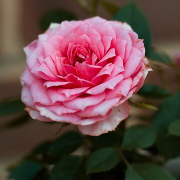 Pink Rose by hannah-g