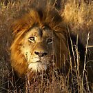Game Drive Lion by Sturmlechner