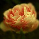 ANN'S TULIP by Peaches1950