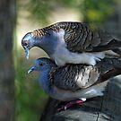Bar Shouldered Doves, Cedar Creek, Queensland, Australia. by Ralph de Zilva