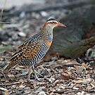 Buff-Banded Rail Bird. Cedar Creek, Queensland, Australia by Ralph de Zilva