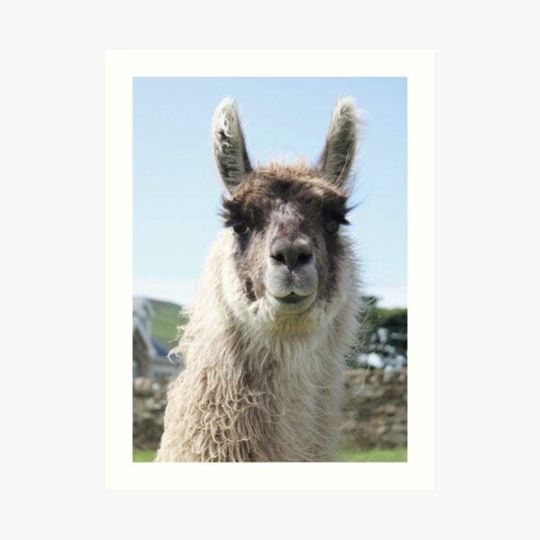 An Irish llama Art Print