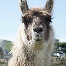 An Irish llama by Agnes McGuinness