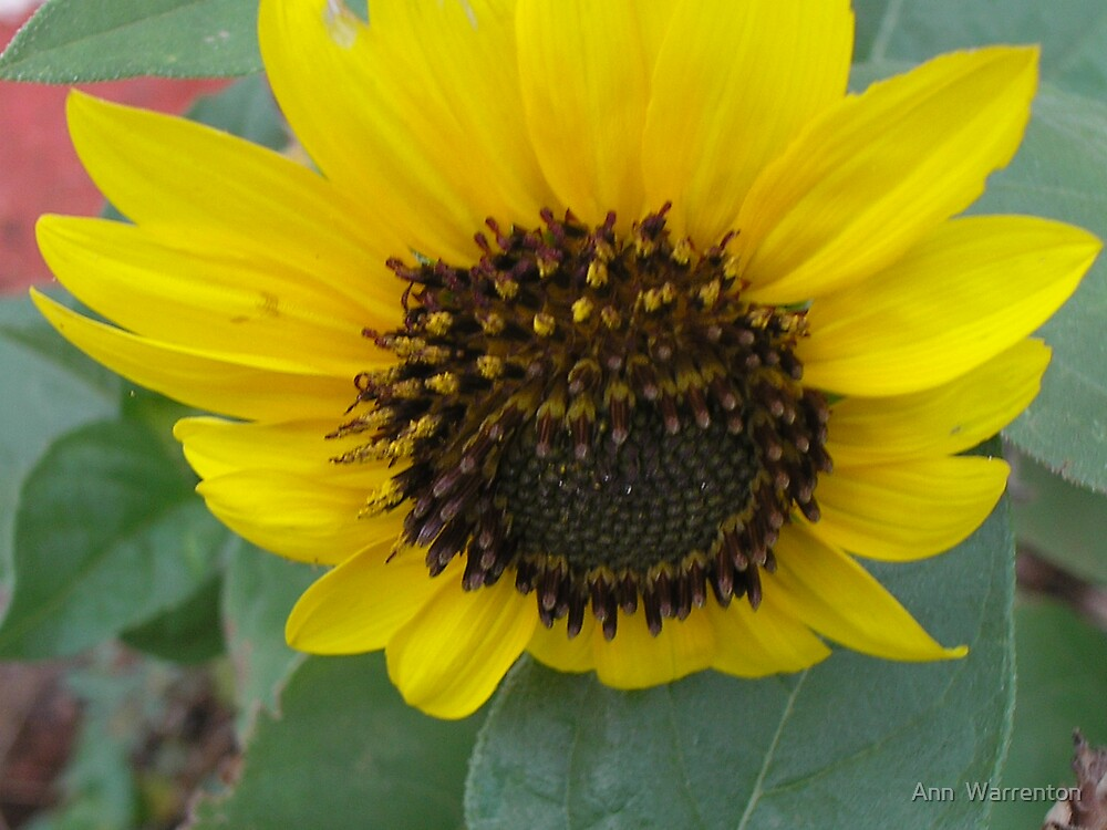 Sunflower by Ann  Warrenton