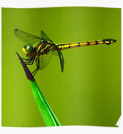 Dragonfly on Cactus Poster