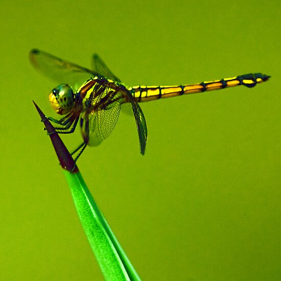 Dragonfly on Cactus by Mukesh Srivastava