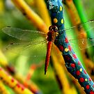 Timorese dragonfly by Meli Fernandes by taliesin
