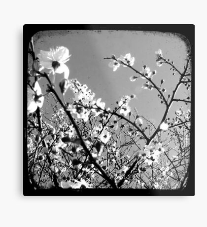 Plum Blossoms Through The Viewfinder (TTV) Metal Print