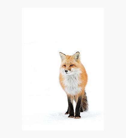Red fox pose - Algonquin Park Photographic Print