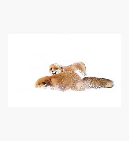 Fox Fight - Algonquin Park Photographic Print